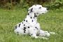 Infección por virus intestinal (Reovirus) en perros