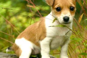 Lóbulo pulmonar torciendo en perros