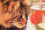 Síndrome Chediak-Higashi en Gatos