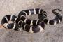 Las serpientes reales y las corales ratoneras, ¿cuál elijo?