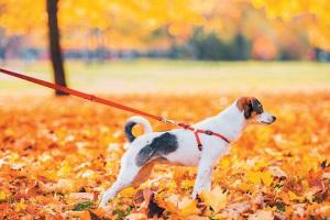¿Tu perro está tirando de su correa? Cómo hacer que se detenga