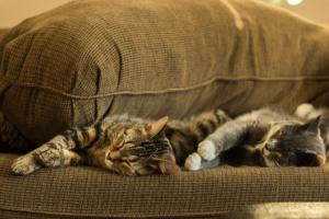 Quistes ováricos en los gatos