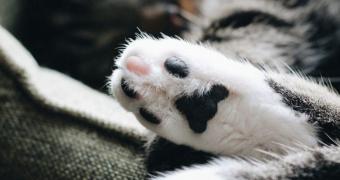 Linfadenopatía en gatos