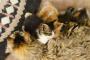 ¿Qué tan pronto puede un gato entrar en celo después de dar a luz?