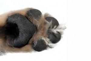 Por qué los perros no tienen frío en los pies
