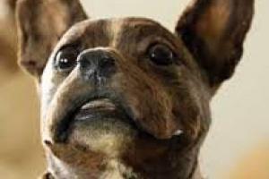 Cómo tratar la insuficiencia renal crónica en perros
