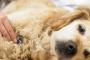 Lupus en perros: síntomas, causas, diagnóstico y tratamiento