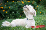 Infección fúngica (levadura) en perros