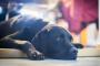 Infección por Coronavirus Canino en Perros