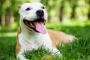 Líquido en el pecho (derrame pleural) en perros
