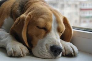 Leishmaniasis en perros: síntomas, causas y tratamientos.
