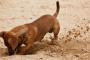 ¿Qué razas de perros hacen más excavaciones?
