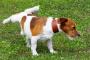 Poliuria (aumento de la micción) en perros: síntomas, causas y tratamientos.