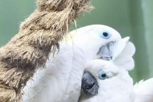 4 especies populares de cacatúas