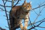 Defecto congénito del corazón (estenosis pulmonar) en los gatos