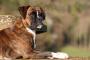 Inflamación colónica o rectal en perros