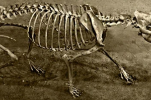 Epididimitis / orquitis en perros