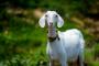¿Quieres una Cabra? 10 cosas a considerar