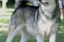 Iris Bombe en perros