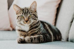 Halitosis en gatos