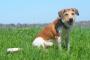 Inflamación testicular en perros
