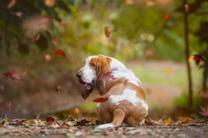 Exceso de calcio en la sangre en los perros