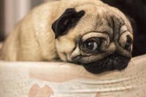 Vómitos con bilis en perros