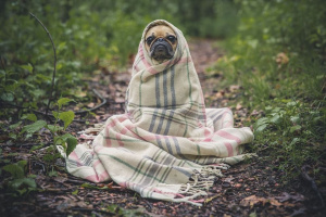 Virus del herpes canino