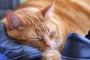 ¿Cómo es la boca y las orejas de los gatos?