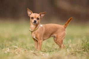 Cómo entrenar a un cachorro con agua de vinagre