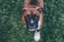 La prueba de coeficiente de inteligencia del perro (¿Indicador confiable o diversión tonta?)