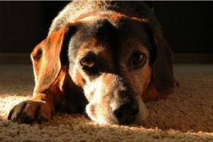 ¿Cuáles son los síntomas de la enfermedad infecciosa en los perros?