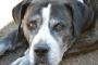 Infección fúngica (Pneumocystosis) del pulmón en los perros