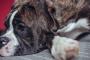 Estenosis pilórica en perros: síntomas, causas y tratamientos.
